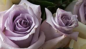 Lavender Roses Types Of Lavender Roses Garden Guides