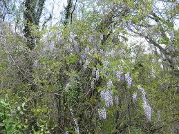 wisteria chattahoochee river national recreation area u s