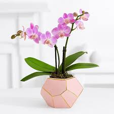 orchid plants pink mini orchid