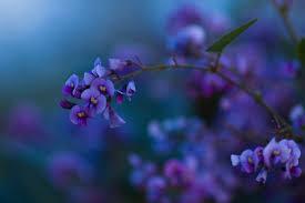 lilac flowers flowers desktop wallpaper lilac flowers