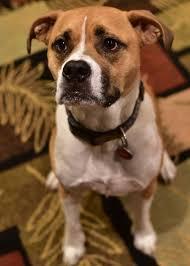 circle c australian shepherds manassas va boxer meet whiskey a dog for adoption