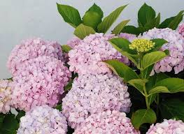 hydrangea popular ornamental plants kinds of ornamental plants