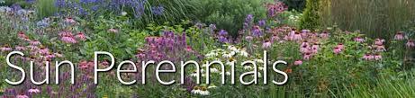 sun perennials u0026 full sun plants greatgardenplants com