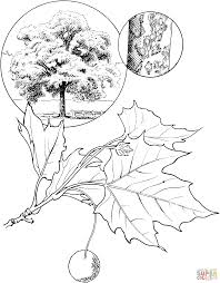 sycamore leaf template coloring page coloring home