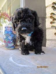 poodle x australian shepherd puppies and dogs for sale plus breed information all on