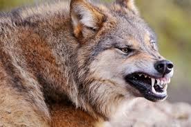 imagenes de animales carnivoros para imprimir los animales carnívoros informacion sobre animales