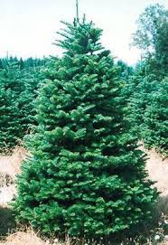 wholesale christmas trees grown in oregon