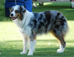 australian shepherd vocal differences between border collies u0026 aussies general border