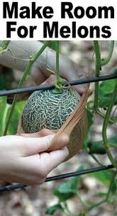 Growing Melons On A Trellis Make Room For Melons