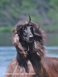 afghan hound afghan hound times gcg thaon u0027s wallstreet photo and pedigree