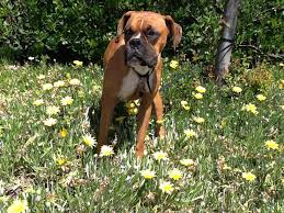 boxer dog vomiting after eating boxer bloat northwest boxer rescue every boxer deserves a chance