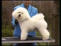bichon frise breed standard bichon frise akc dog breed serie youtube