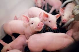 profitable pig farming interview with dr ikpegbu ekele ceo of