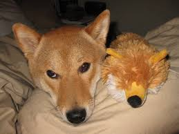 what breed of small dog looks like a fox pictures to pin on