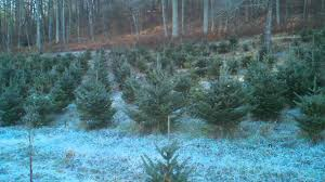 Nordmann Fir Christmas Tree Nj by Cedar Mountain Christmas Tree Farm On 11 25 2011 Youtube