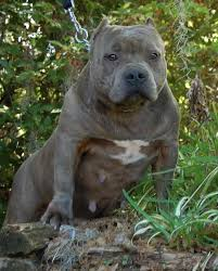 blue american pitbull terrier view source image blue blue nose pits pinterest pit bull