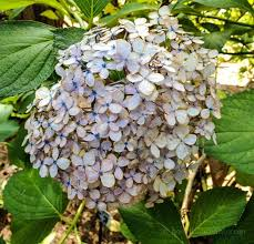 Dried Hydrangeas Drying Hydrangeas Creating Everlasting Decor Hearth U0026 Vine