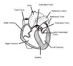 blank heart diagram free download clip art free clip art on