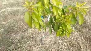 What Fruit Trees Grow In Texas - raising avocado trees in central texas youtube