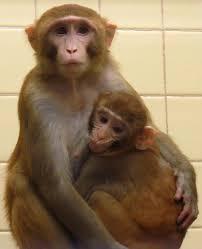 university of wisconsin to reprise controversial monkey studies