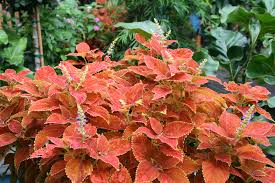 How To Grow Coleus Plants by Plants Easy For Kids To Grow Gardening With Children