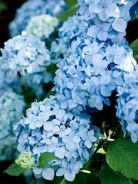 Hydrangea Flowers Choose The Best Hydrangeas For Your Garden