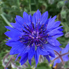 edible blue flowers cornflowers our edible flowers the flower deli