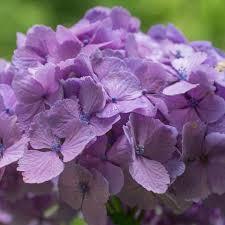 Purple Hydrangea Fresh Bulk Purple Hydrangea Stems 2 69 To 2 84 Per Stem