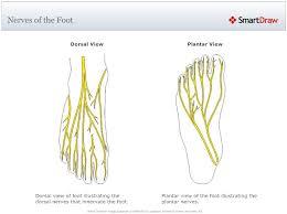 Foot Anatomy Nerves 38 Best Anatomy U0026 Physiology Images On Pinterest Physiology