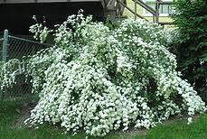 White Flowering Shrubs - best performing hardy shrubs for northern and midwest gardens