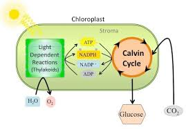 What Happens During The Light Reactions Of Photosynthesis Calvin Pre Jpg
