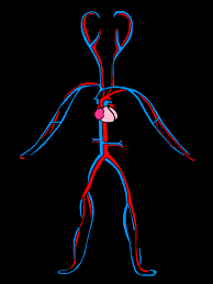 circulatory system coloring pages human anatomy library