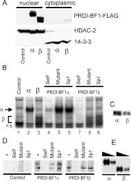 Anti Flag Affinity Gel Identification Of A Functionally Impaired Positive Regulatory