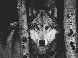 black and white wolf 26 free wallpaper hdblackwallpaper com