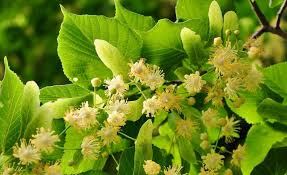linden flower a family herb gentle linden flower and leaf herbal academy