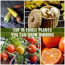 plants to grow indoors top 16 edible plants you can grow indoors shtf prepping