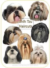 how to cut a shichon s hair shih tzu haircuts hair style options from head to tail to help
