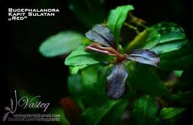 Plants For Aquascaping Bucephalandras The Most Magnificent Plants For Aquascape