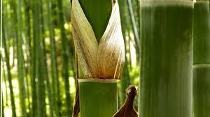 Bamboo Backyard How To Grow Bamboo Plants Create A Bamboo Garden In The Backyard