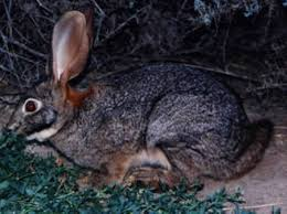 rabbits hares jackrabbits rabbit pictures