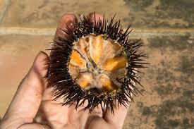 comment cuisiner des oursins oursins une franco japonaise oursin camille et manger