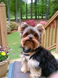 types of yorkie haircuts types of hair cuts for a yorkie all things yorkie yorkies