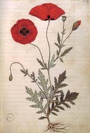 poppies from the codice rinio manuscript after benedetto rinio