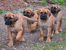 Do English Bullmastiffs Shed by Boerboel Dog Breed Characteristics Appearance History And Pictures