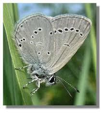 butterflies of scotland small blue