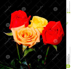 Peach Roses Yellow And Peach Roses Stock Photo Image 25451850
