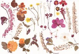 dried flowers pressed flowers stock by rocktuete on deviantart
