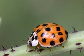 How To Find Ladybugs In Your Backyard 7 Super Easy Ways To Get Rid Of Asian Beetles Pestwiki