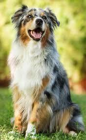australian shepherd fur bodil u0026 luuk u0027s hond benji dnk personages pinterest dog