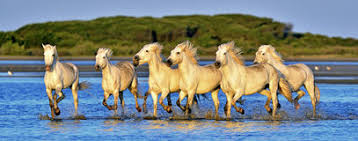 camargue white horse wallpapers herd of white camargue horses running on the water stock photo